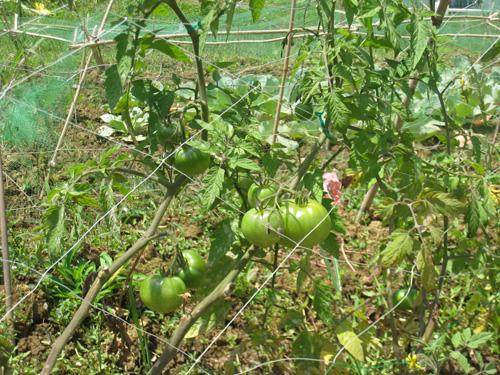 トマト トマト カテゴリー: トマト, 週末農業 | タグ: トマト  沖縄で週末農業を楽しみ、